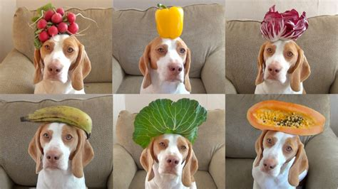 are oranges bad for dogs pet dogs cats fishes and small pets 5 fruits that are bad for dogs