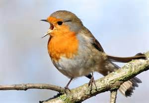 a european robin singing beautiful birds pinterest
