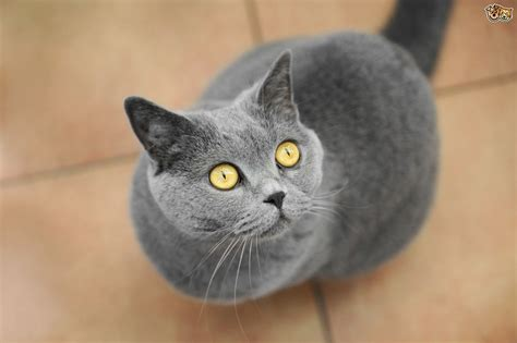 The UK?s Top 10 Most Popular Cat Breeds   Pets4Homes