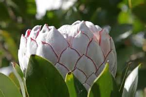 protea flower file protea flower jpg