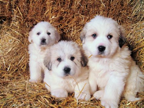 grand pyrenees puppies great pyrenees puppies great pyrenees