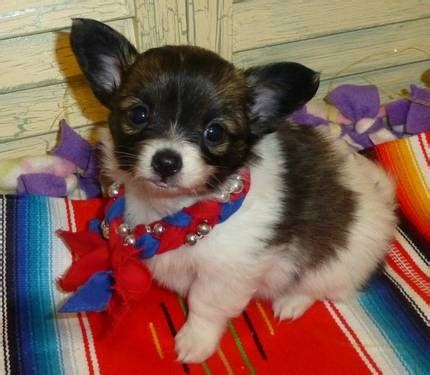 chion puppies for sale 12 best chion images on chihuahuas chihuahua mix and adorable animals