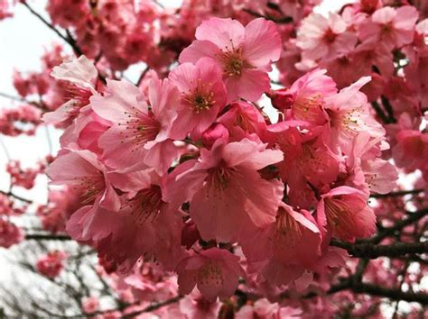 fiori ciliegio fiori di ciliegio significato e immagini idee green