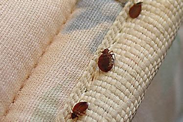 Are Bed Bugs Flat by Bed Bugs Small Flat Oval Shaped Bodies They Are