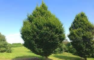 buy fastigiate hornbeam trees carpinus betulus fastigiata