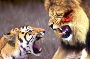 Jaguar Versus Tiger Animals Fight Till Jaguar Vs Tiger Who Will