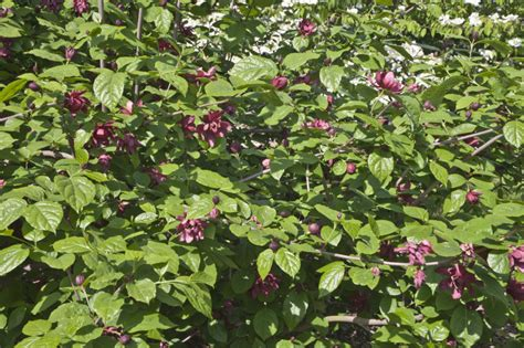 green shrub with pink flowers shrub with purplish pink flowers and glossy leaves