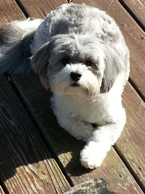 shih poo puppies haircuts 22 best toby haircut ideas images on pinterest shih