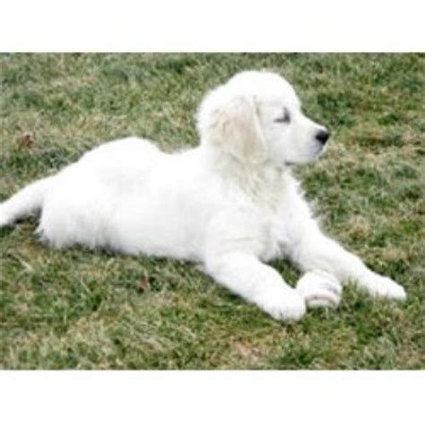golden retriever breeders ky treasure goldens white golden retrievers golden retriever breeder in