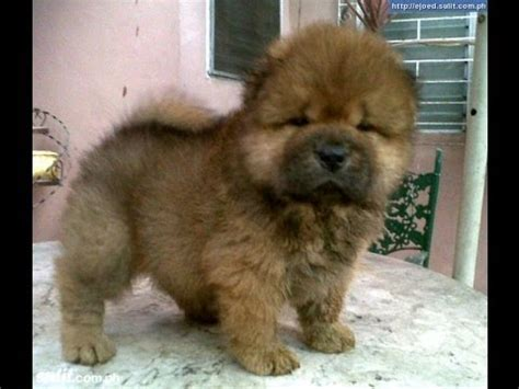 chow puppies for sale chow chow puppies for sale in gulfport mississippi ms greenville olive branch