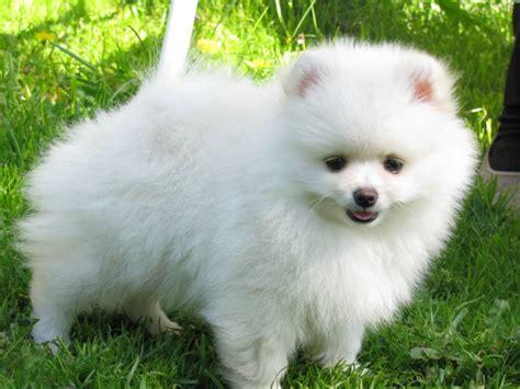 pomeranian spitz white shafran sheeny pomeranian kleinspitz german spitz quot quot pictures of spitz puppy quot white spitz