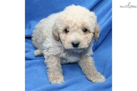 puppies for sale in muskegon mi cockapoo puppy for sale near muskegon michigan baf25227 3771