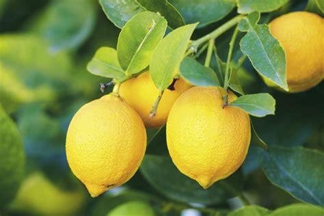 coltivare limoni in vaso come coltivare i limoni in vaso non sprecare
