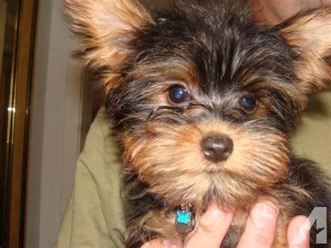 yorkies for adoption in teacup biewers parti yorkies in breeds picture