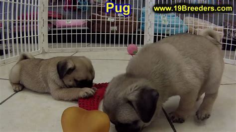 pugs for sale ebay pug puppies dogs for sale in montgomery alabama al 19breeders hoover auburn