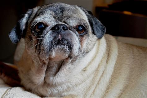 pug before pug wishes you a morning about pug
