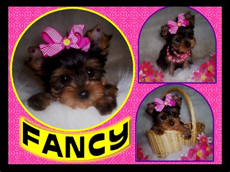 looking for a teacup yorkie lori s loveable pups akc yorkies teacup yorkie chocolate yorkie golden yorkie