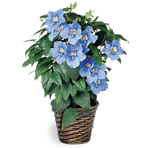 blue skyflower thunbergia grandiflora tropical plants for indoor containers indoor