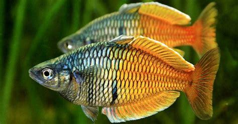 Ikan Gurame Hidup 1kg 23 Ekor ajas manfaat ikan boesemanis rainbowfish