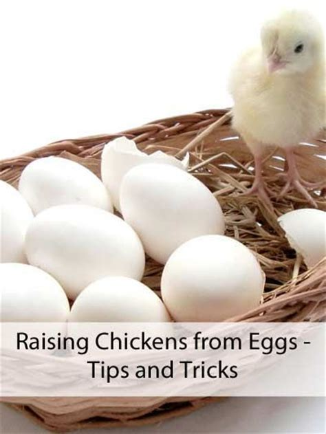 Raising Chickens From Eggs Tips And Tricks To Find Out How To Raise Backyard Chickens For Eggs