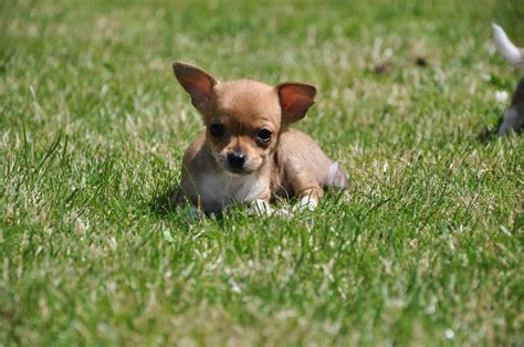 tiny puppies for sale white chihuahua puppies for sale breeds picture
