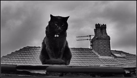 on a roof file cat on a tin roof 7217339156 jpg wikimedia