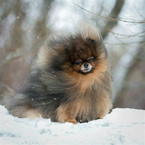 teapot pomeranian for sale 17 best ideas about teacup pug on baby pugs small pug and baby dogs