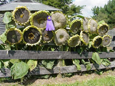 20 Pcs Sunflower Seeds Giant Sunflower Rare Flower Seeds Flower Garden Seeds