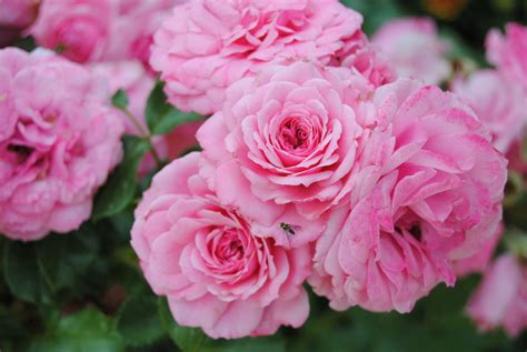 those pretty pink flowers by rainbow potato on deviantart