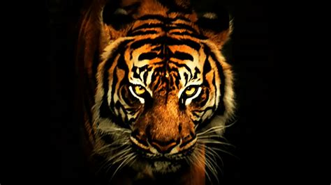 wallpaper black tiger tiger backgrounds pictures wallpaper cave