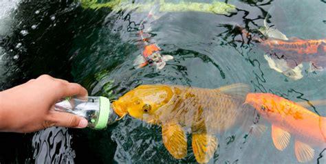 backyard fish pond maintenance koi pond fish care maintenance tips outdoortheme com