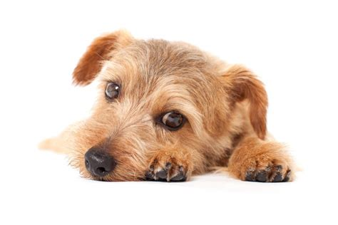Small House Dogs norfolk terrier dogs breed information omlet