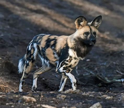 painted dogs painted dogs animals wildlife park