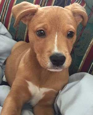 pitbull mixed with golden retriever is the pitbull golden retriever mix as sweet as some for