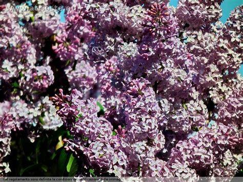 sta fiori le mie fioriture de primavera
