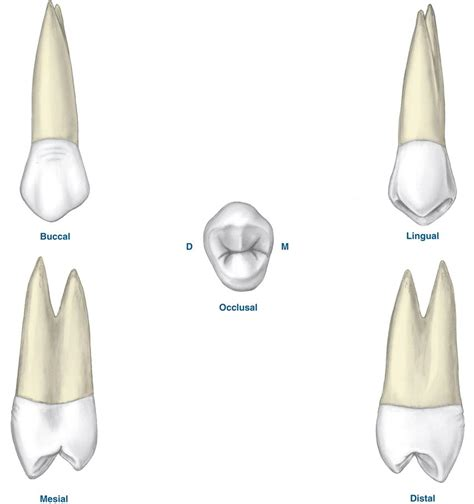 Maxillary Premolar Image Gallery Maxillary Premolar