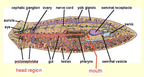 flatworm diagram http www cals ncsu edu course zo150 mozley fall flatworm jpg