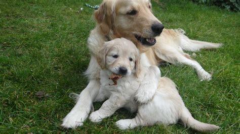 golden retriever x puppies for sale litter of golden retriever puppies breeds picture
