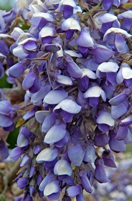 You Ve Garden Flower Bra Purple search the rhs website for gardening knowledge rhs gardening