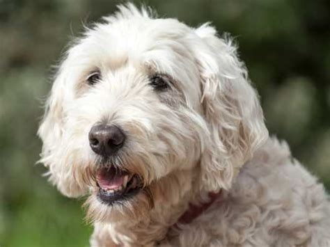 protein losing nephropathy soft coated wheaten terrier hereditary health and