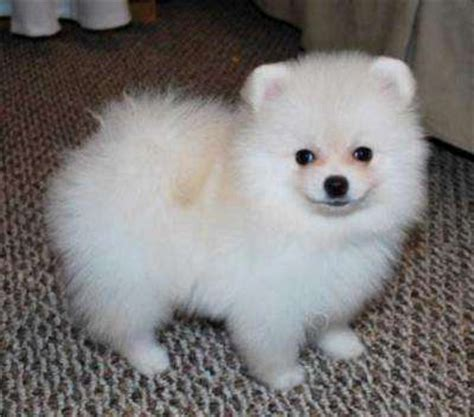 white pomeranian puppies for sale australia affectionate akc white pomeranian puppies for sale adoption from sydney