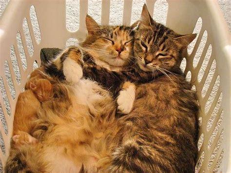 cat hugs cat hugs cats photo 35641585 fanpop