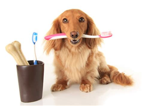 teeth cleaning for dogs teeth cleaning arizona az arizona teeth cleaning