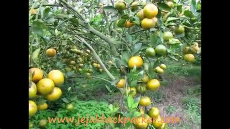 Pohon Jeruk jeruk berastagi