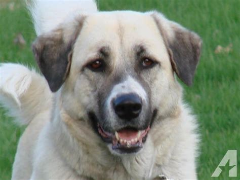 great pyrenees anatolian shepherd mix puppies for sale pin great pyrenees anatolian shepherd puppies for sale ruff and tuff on