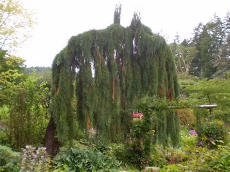 weeping pine weeping evergreen trees pinterest