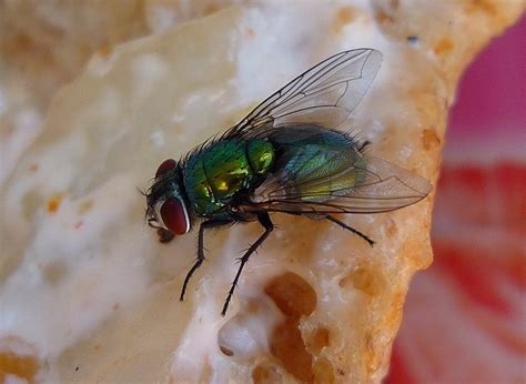 flies on food should i throw away food once a fly has landed on it