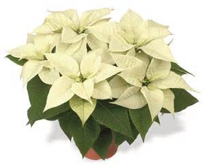 white poinsettia 2014 poinsettias karthauser sons wholesale florists germantown wi