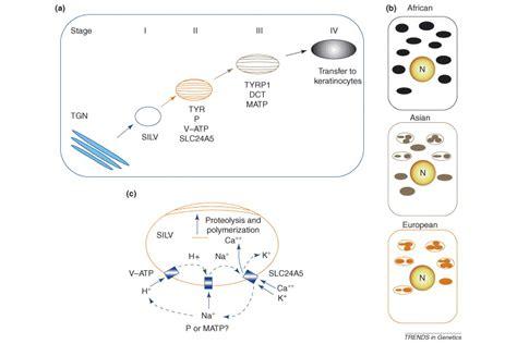 p protein oca2 p protein melanin driverlayer search engine