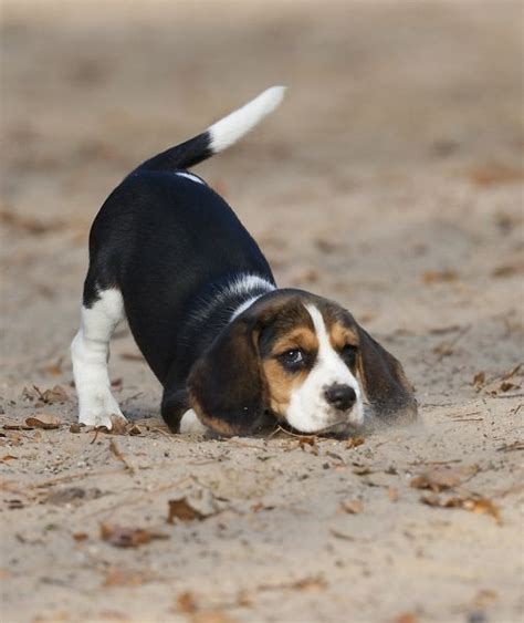 beagle puppies oregon top 239 ideas about i beagles on